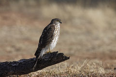 Coopers hawk, Accipiter cooperii Stock Image