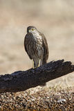 Coopers hawk, Accipiter cooperii Stock Photo