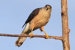 Coopers Hawk Stock Photography