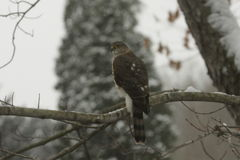 Coopers Hawk back view. A sharply patterned coopers hawk is perched in a tree watching for prey on a winters day in Allegheny County, Western Pennsylvania Royalty Free Stock Photography