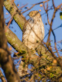Coopers Hawk. On blue sky sunset Stock Photo