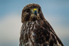 Coopers Hawk close up, Sacramento National Wildlife Refuge Stock Photos