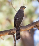 Coopers Hawk Royalty Free Stock Photography