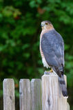 Coopers Hawk fencepost Stock Image