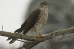 Coopers Hawk front view. A sharply patterned coopers hawk is perched in a tree watching for prey on a winters day in Allegheny County, Western Pennsylvania Stock Photo