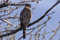 Coopers Hawk Perched Against the Blue Colorado Sky stock image