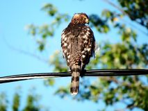 Coopers hawk perched on an electric wire royalty free stock image