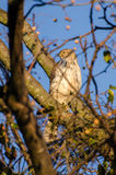 Coopers Hawk perched Royalty Free Stock Photos