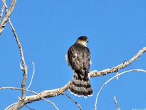 Coopers Hawk Royalty Free Stock Photo