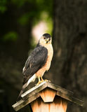 Coopers Hawk Portrait Mode Royalty Free Stock Photo