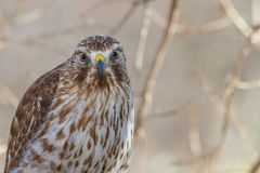Coopers Hawk Stares At Camera Stock Image