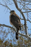Coopers Hawk. Wild Coopers Hawk photographed in Assateague Island National Seashore Stock Photos