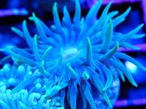 Coordonnée de Duncan Coral Polyp vert bleu photos libres de droits
