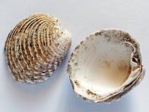 Coordonnée de petit Clam Sea Shells images stock