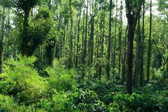 Coorg Coffee Plantation-II Stock Photos