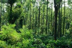 coorg plantacji kawy ii Zdjęcia Stock