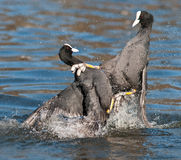 Coot. Two coot who is up and beaten Royalty Free Stock Images