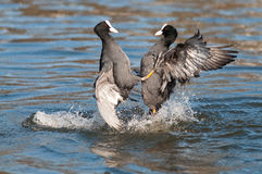 Coot. Two coot who is up and beaten Royalty Free Stock Photography