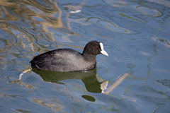 Coot. A Eurasian Coot (Fulica atra) on blue waters stock image