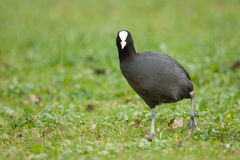 Coot Stock Images
