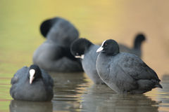 Free Coot Stock Image - 18079891