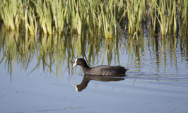 Coot Stock Photos