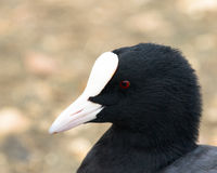 Coot. A close up image of a coot (Fulica atra Stock Photography