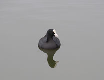 coot Obrazy Royalty Free