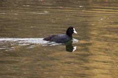 coot Stock Foto