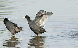 coot Stock Foto's