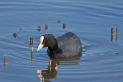 Coot. An Adult Black Coot Fulica Atra in its Natural Habitat Stock Photos
