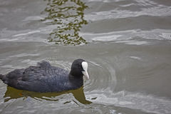 Coot Royalty Free Stock Photography