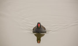Moorhen in autumnal ambient Royalty Free Stock Photos