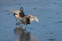Coot behavior Royalty Free Stock Images