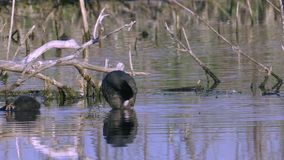 A coot bird and its chicks walks through the shoal of a lake.