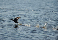 Coot bird landing on ocean Stock Image