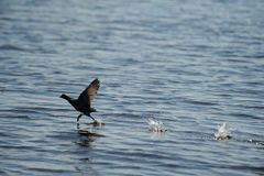 Coot bird landing on water in ocean Royalty Free Stock Images
