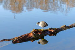 Coot bird standing on a log in the water Stock Image