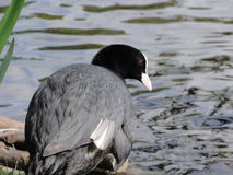 Coot bird Stock Photography