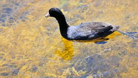 Coot bird swimming in lake Stock Images