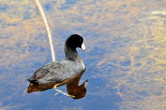 Coot bird swimming and reflecting in lake Stock Images
