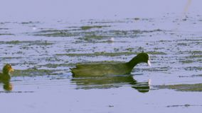A coot bird swims in a lake, searches for edible algae, eats algae and feeds its chicks. Sunny summer morning stock footage