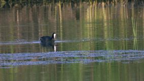 A coot bird swims in a lake, searches for edible algae, eats algae and feeds its chicks. Sunny summer morning stock video