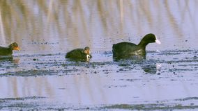 A coot bird swims in a lake, searches for edible algae, eats algae and feeds its chicks. Sunny summer morning stock video footage