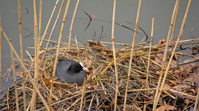 Coot breeding in nest Royalty Free Stock Image