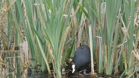 Coot building a nest stock video footage