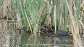 Coot building a nest stock video