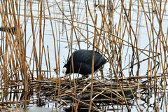 Coot builds a nest Royalty Free Stock Photos