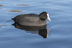 A Coot on the Cemetery Lake, Southampton Common. A coot on the Cemetery Lake on Southampton Common stock photography