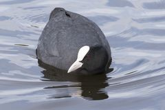 A coot on the water Royalty Free Stock Images